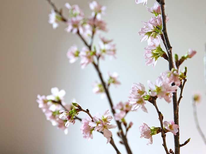 1週間たった桜の生け花