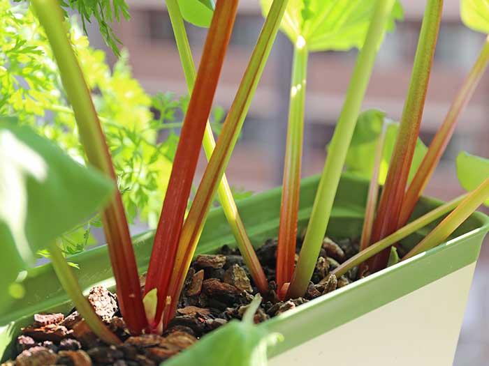 茎が赤くなってきたルバーブ