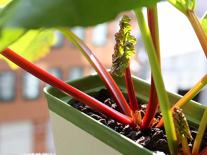 真っ赤な茎になったルバーブ