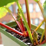 ルバーブを種から育てる!超簡単な栽培方法で収穫できちゃったよ!
