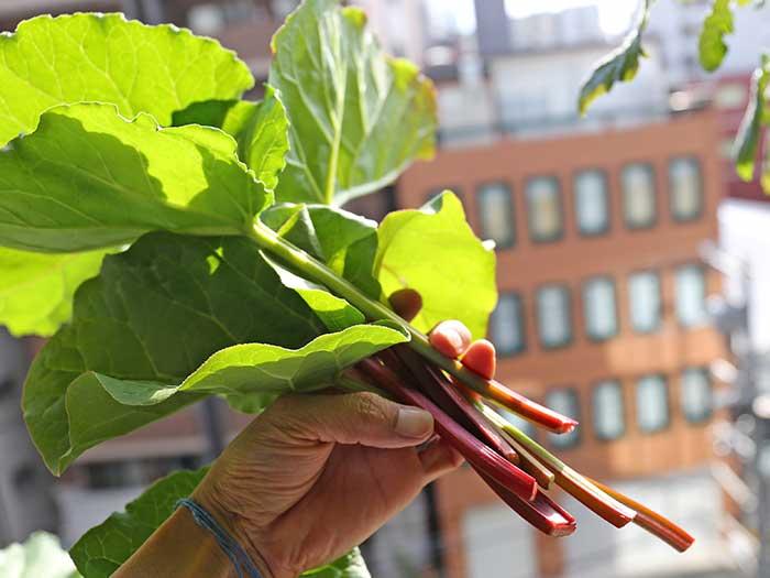 ルバーブの葉と茎