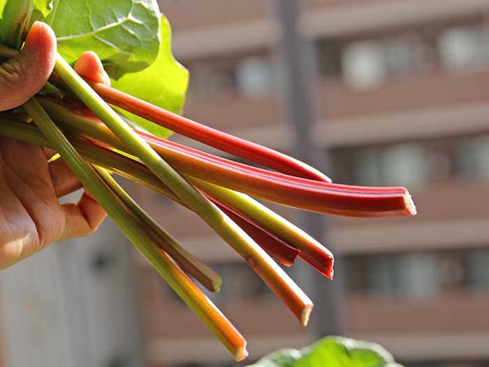 食べられるルバーブの茎