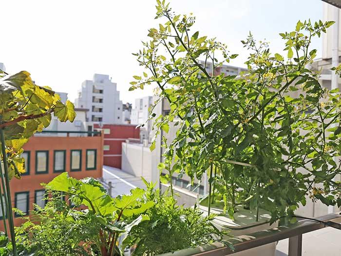 寒くても元気に成長するトマトの株