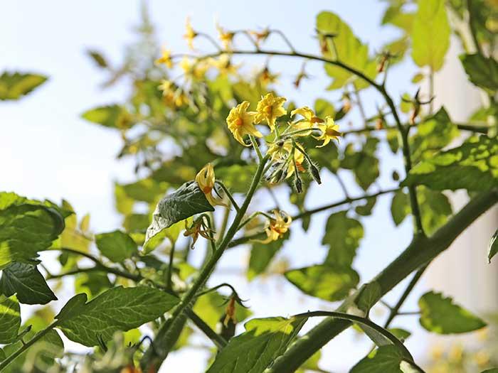冬でも咲きまくるトマトの花