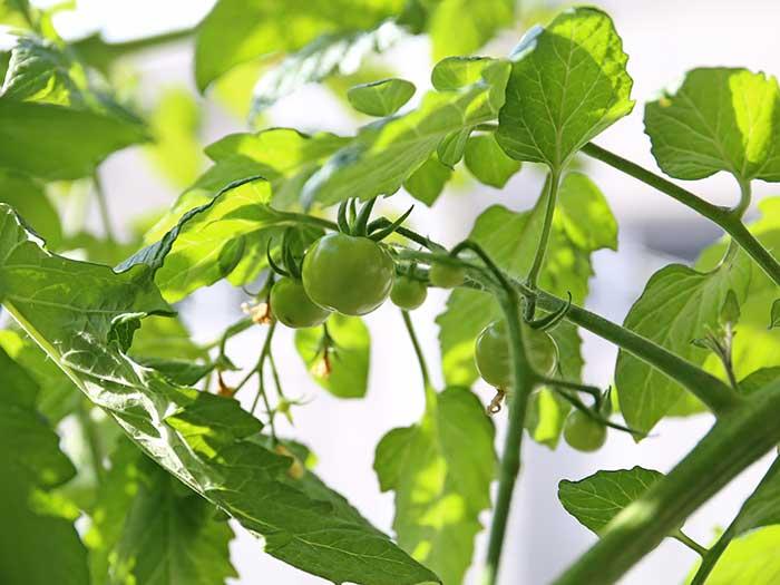 真冬に結実したトマト