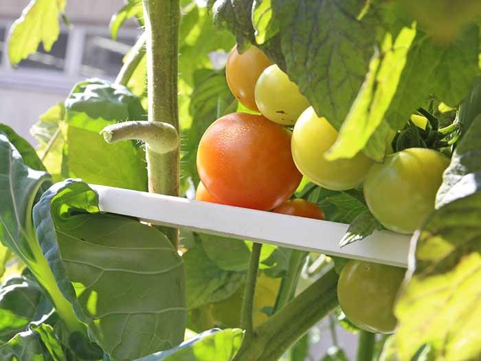 赤くなってきたトマト