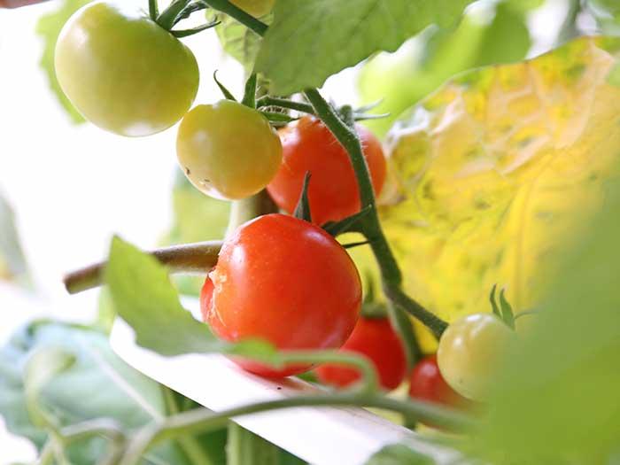 水耕栽培で赤く実ったトマト