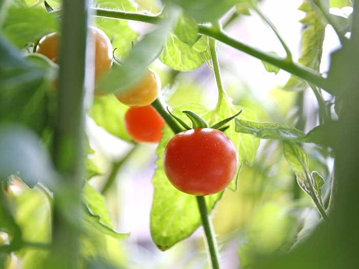 冬に真っ赤に熟した水耕栽培のトマト