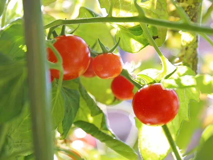 完全に赤く熟した冬のトマト