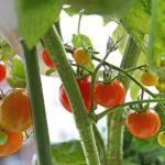 真冬にトマトの水耕栽培!寒くても赤く実る上手な越冬方法!