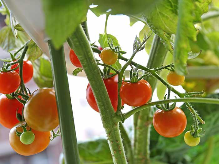 冬でも実る水耕栽培のトマト