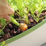 ほぼ水耕栽培でニンジンを栽培!ラブリーキャロットの楽しい収穫と味見!