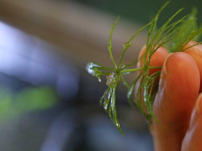 水草についた紅龍めだかの有精卵