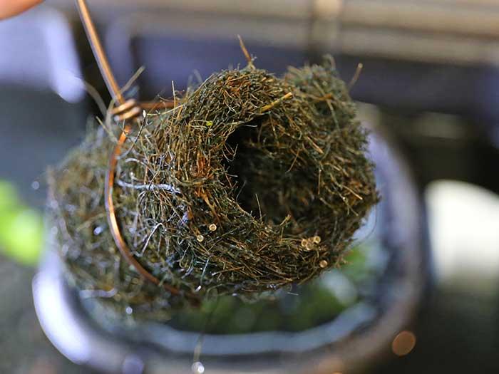 卵を産み付けられた産卵床