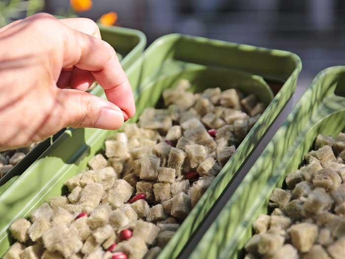 小豆の種まき