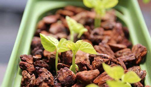 小豆をほぼ水耕栽培で育てる!春の種まきの方法と発芽!
