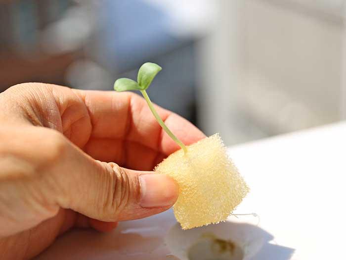 水耕栽培キットにメロンの苗をセット