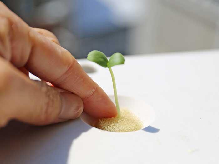 優しくメロンの苗をスポンジ毎水耕栽培キットにセット