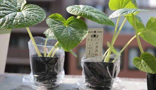 ベランダで沢わさびの植え付け!家庭菜園の水耕栽培で育ててみるよ