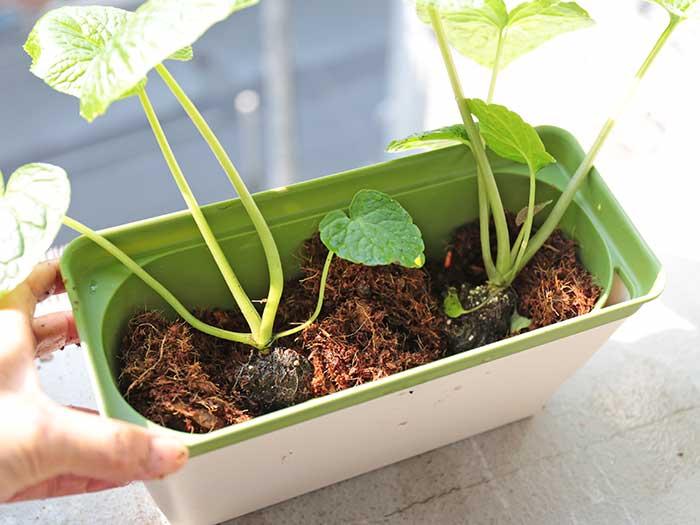 苗を栽培容器に置いてみる