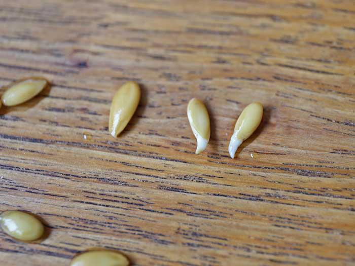 根がでてきたメロンの種