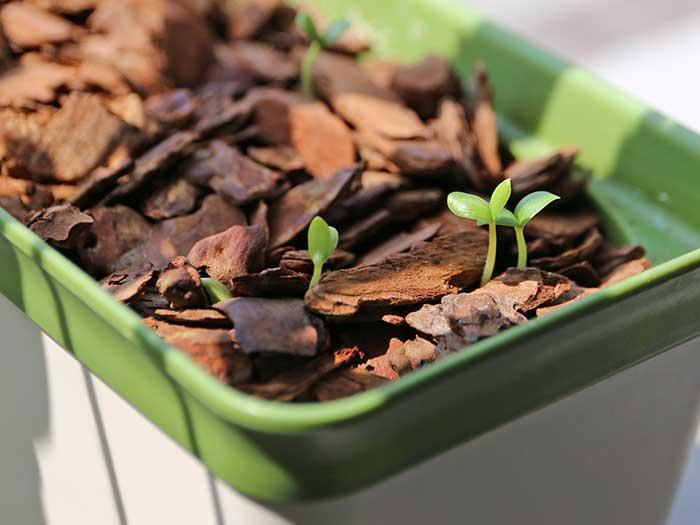 すぐに発芽したメロンの種
