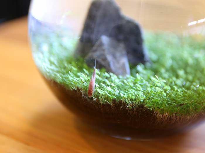 水草に頭を突っ込んで隠れたつもりのディープレッドホタルテトラ