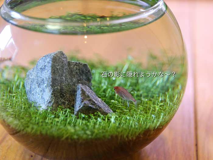魚の赤色と水草の緑がよく似合う