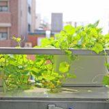 種からメロンを育てるなら水耕栽培キットとプランターどっちがいいか徹底比較!