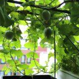 水耕栽培のメロンをぶどう棚に仕立てて育てたらどうなるの?