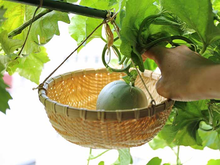 メロンの葉っぱを整える