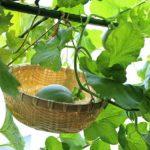 ベランダ菜園でメロンの実をカゴに入れて育てる超かわいい方法!