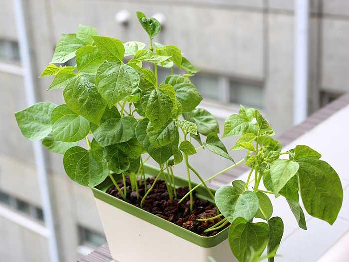 成長を始めた小豆の苗