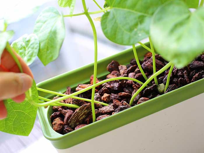 茎が曲がりまくりの小豆の苗
