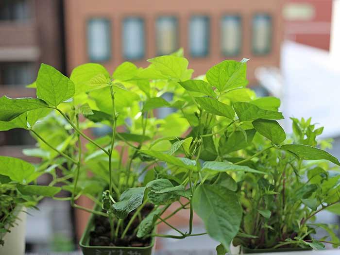 雨の日の小豆の苗