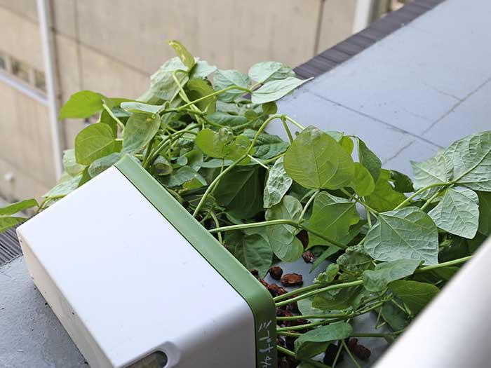 倒れた小豆の栽培容器