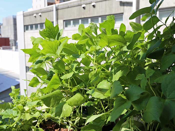 大きく成長した小豆の株