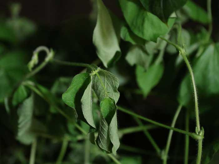 葉がしおれた小豆