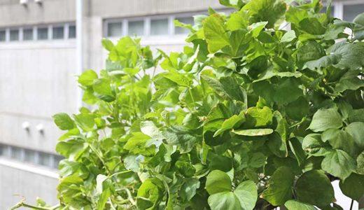 小豆のほぼ水耕栽培!元気に成長しまくりだけど実はいつなるの?