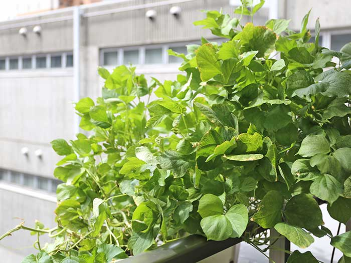 茂りすぎの小豆