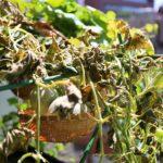 水耕栽培のメロンが収穫間際に枯れる!?原因と対策はあるの?