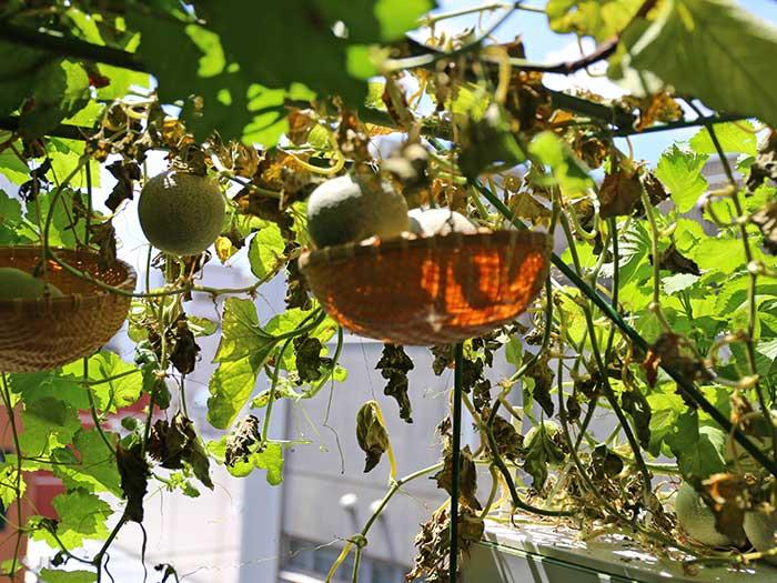 枯れ葉に囲まれたメロンの実