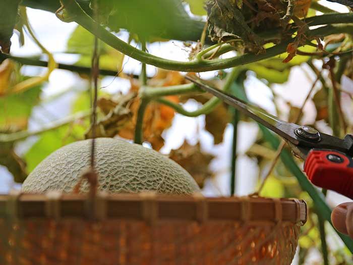 メロンを収穫