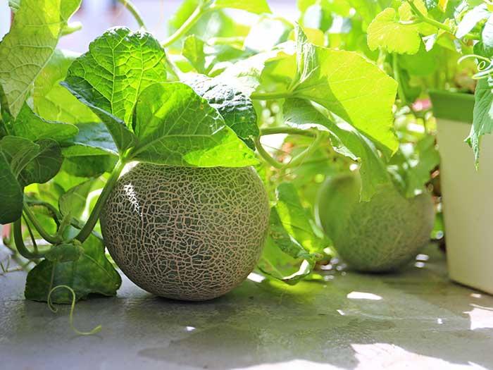 順調に育つ水耕栽培のメロン