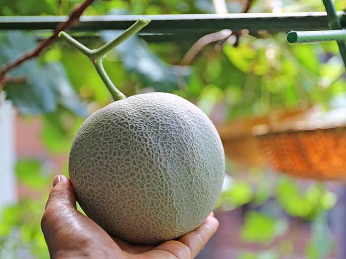 水耕栽培で収穫したメロンの実