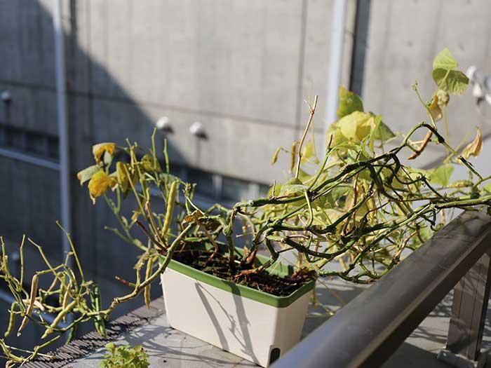 葉が急に落ちてきた小豆