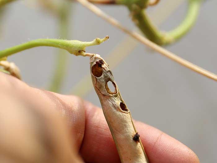 虫食いの穴があいた小豆