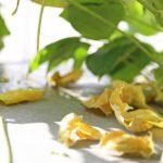 水耕栽培の小豆が病気に!虫食いまで発生しちゃった~!