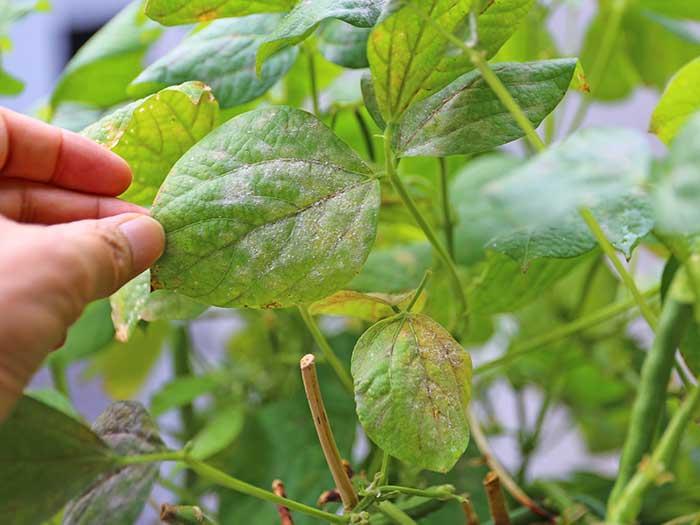 病気になた小豆の葉