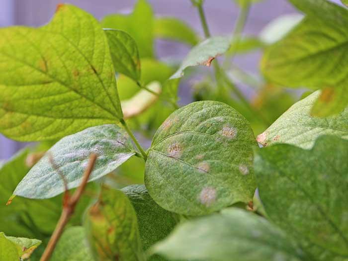 斑点ができた小豆の葉